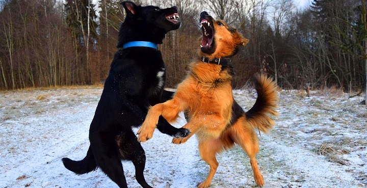 Dog Aggression Towards Other Dogs - how to socialize an aggressive dog